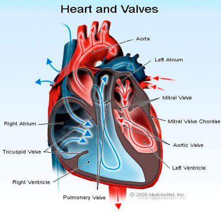 http://www.southvet.com.au/SouthernAnimalHospital/Images/heart_valves.jpg